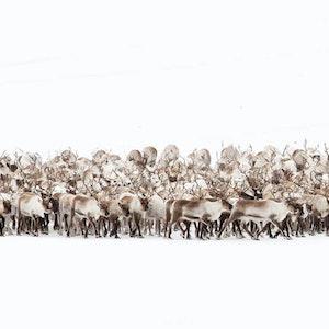 Reindeer grahame soden 1400x600 3